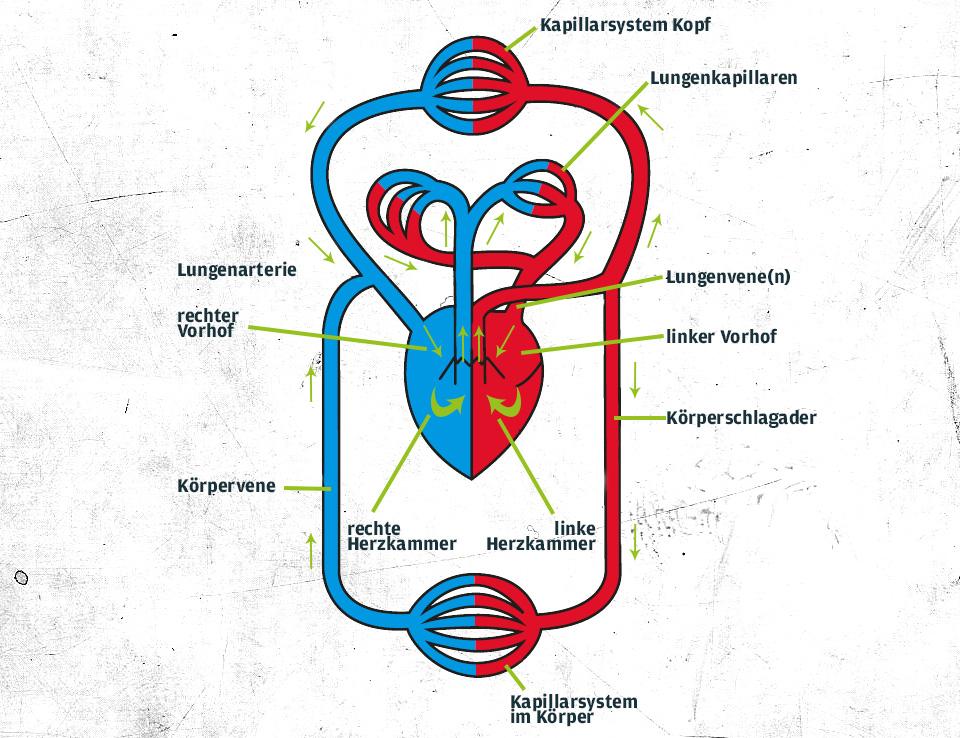 Berühmt Herz Kreislauf System Funktionen Ideen - Menschliche ...